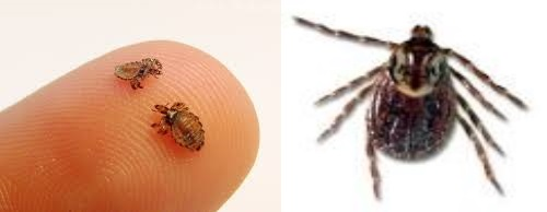 Lice on the left, tick on the right
